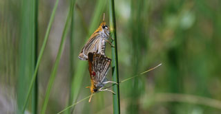 A picture of Poweshiek Skipperlings mating.